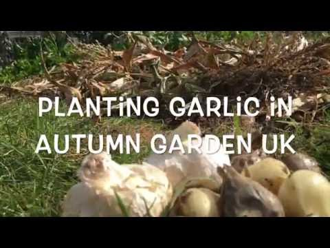 , title : 'Planting Garlic in the UK