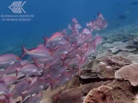 Video. This footage shows very high coral cover along with a tightly packed school of hussar (Lutjanus adetti) on one of the LTMP's permanent monitoring sites at Wreck Island Reef, a total Preservation Zone. Survey reefs of varied zoning status in the Capricorn-Bunker Group all had high coral cover and diverse fish populations.