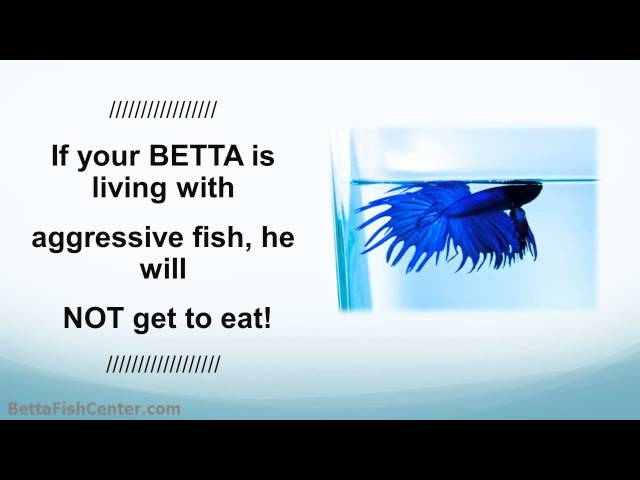 Betta Aquarium Tips - Your Betta with Other Tank Mates