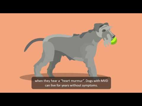 Video How to look out for heart problems in dogs