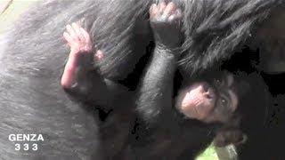 Baby Chimpanzee Video:Animal Video