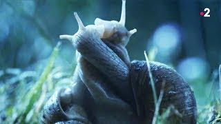Sexe : les escargots l