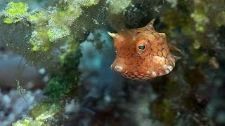 Mucky Secrets - Part 12 - Boxfishes, Puffers & Porcupinefishes - Lembeh Strait