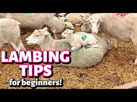, title : 'Lambing Tips to help make your first lambing experience AWESOME!: Vlog 294