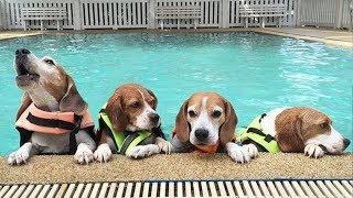 Funny And Cute Beagle Puppies Compilation #4 - Cutest Beagle Puppies