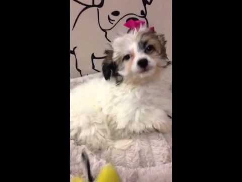 Chole Gorgeous tiny Havapoo puppy for Sale in Queens NY
