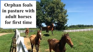 Orphan foal: pasture turn out with adult horses