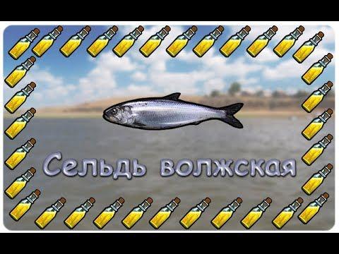 Русская Рыбалка 3.99 (Russian Fishing) Сельдь волжская