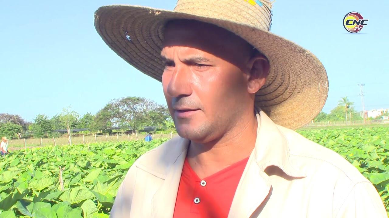 Apuesta productor granmense por incrementar cultivo de la malanga