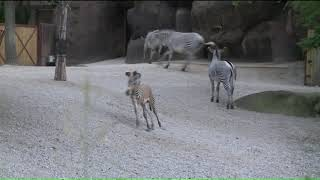 Saint Louis Zoo welcomes birth of rare Somali wild ass foal