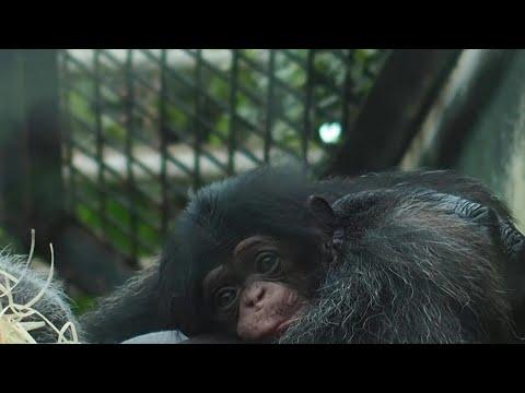 Naissance rare d'un bébé chimpanzé au zoo de Beauval   AFP News