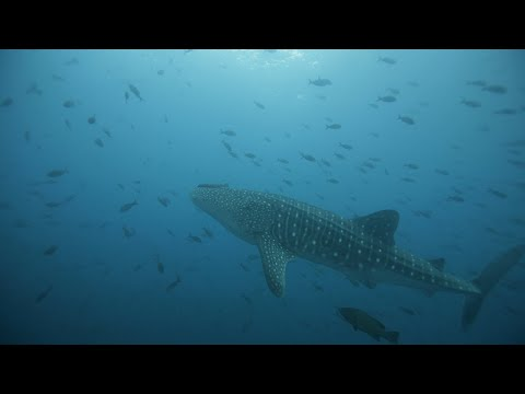 Whale Shark Tagging project