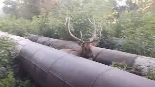 Марал застрял в трубах теплотрассы Павлодара