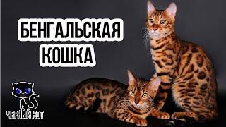 Бенгальская кошка  / Интересные факты о кошках