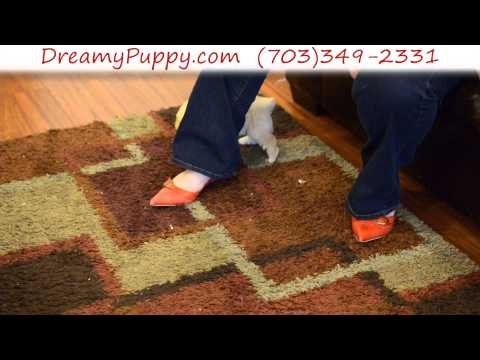Playful Miniature Poodle Male Puppy 4