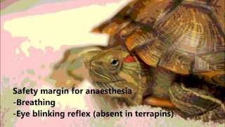 A terrapin has a painful right ear abscess