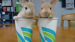 Twin Rabbit in the cup Video
