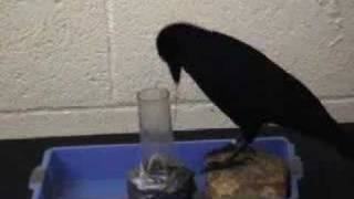 Tool-Making Crows