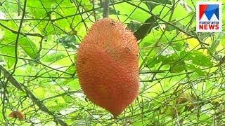 Kerala loves gac fruit too  | Manorama News
