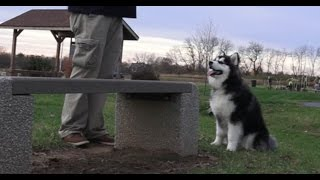 Dog Training: 8 Month Old Siberian Husky Mix, Oreo! Before/After 2 Week Board and Train!