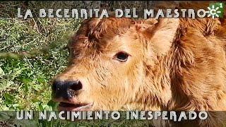 La Becerrita Enriqueta Del Maestro Ruiz Miguel | Toros Desde Andalucia