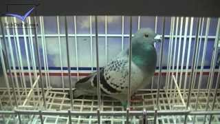 International Pigeon Market In Kassel, Germany [Pigeon Version] (2013)
