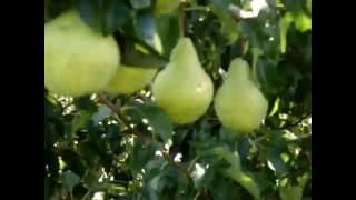 Саженцы груши Просто Мария от компании Крестьянское фермерское хозяйство Сеянец - видео
