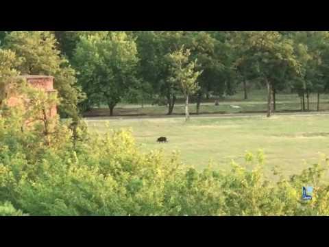 Il cinghiale Agostino passeggia nel parco della Galleana