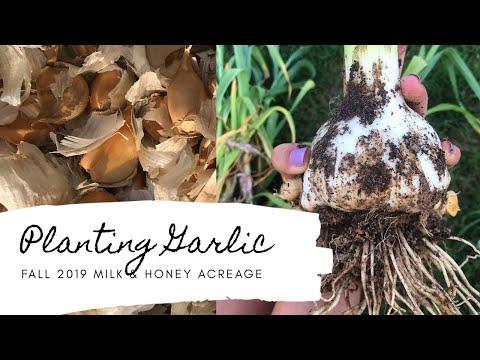 Planting Garlic 🌱 Fall 2019 Gardening