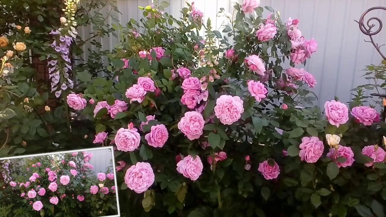 Р.мери Роуз начало цветения. # мой сад # розы