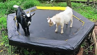 My Goats Reacting To a Trampoline