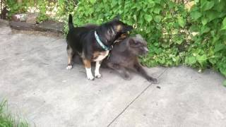 Dog loves to try to hump cat