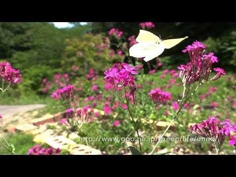 庭のスジボソヤマキチョウの飛翔