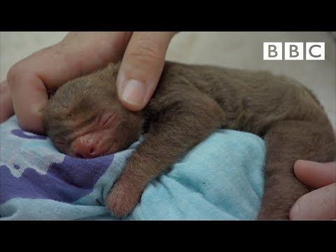 Adorable baby sloth finds a new home - BBC