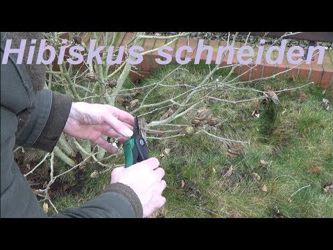 Hibiskus schneiden Gartenhibiskus zurückschneiden wann und wie
