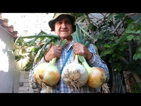 El huerto de Isidro: 12. Cebollas