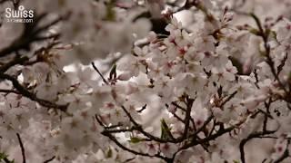 ベルンのソメイヨシノ開花情報 満開編 2018.04.16【スイス情報.com】