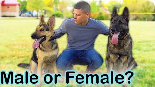 Male Vs Female German Shepherd - Which One Should You Get?