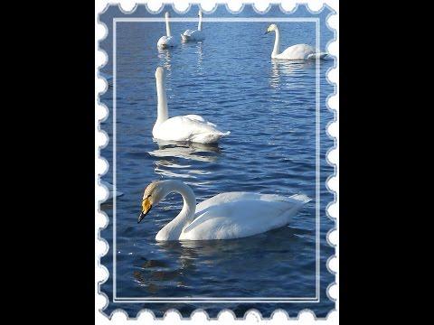 Лебеди - кликуны. Экскурсия на озеро Лебединное