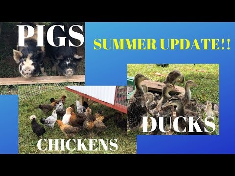 , title : 'Chickens, Ducks, and Pigs Oh My!!!