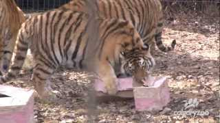 День рождения амурских тигров