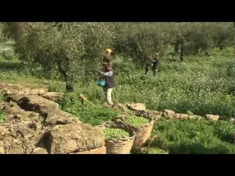 Sicilia - Olio biologico (L'olio pregiato di Castelvetrano)
