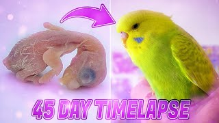 BUDGIE GROWTH STAGES | First 44 Days of Babies Timelapse