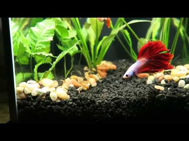 Betta with Guppies - Fluval Planted Aquarium