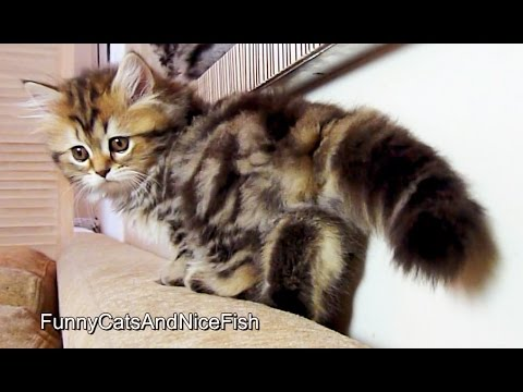 Cutest Stalking Kitten  | Funny Cats