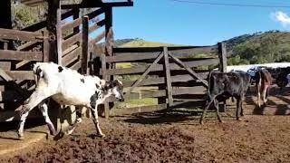 Bovino Leite Mestiço Bezerra - e-rural Imagens