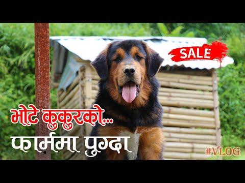 Bhote Kukur को फार्ममा पुग्दा... VLOG │Nepal Chitra
