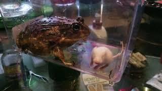 Titan The Pixie Frog Vs Baby Mouse