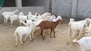 Mohammad Pur Mandi (03496789033)(2019)(3)(3)(rajanpur Mandi