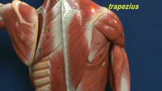 Head and Back - Muscles (Trapezius & Longissimus Dorsi)